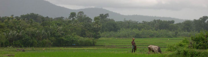Rice_fields_Orissa